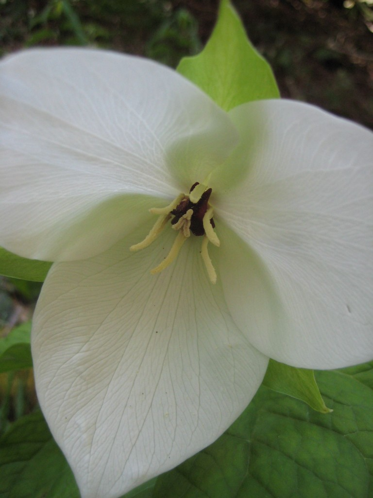 Trillium, Great Smokies National Park, TN