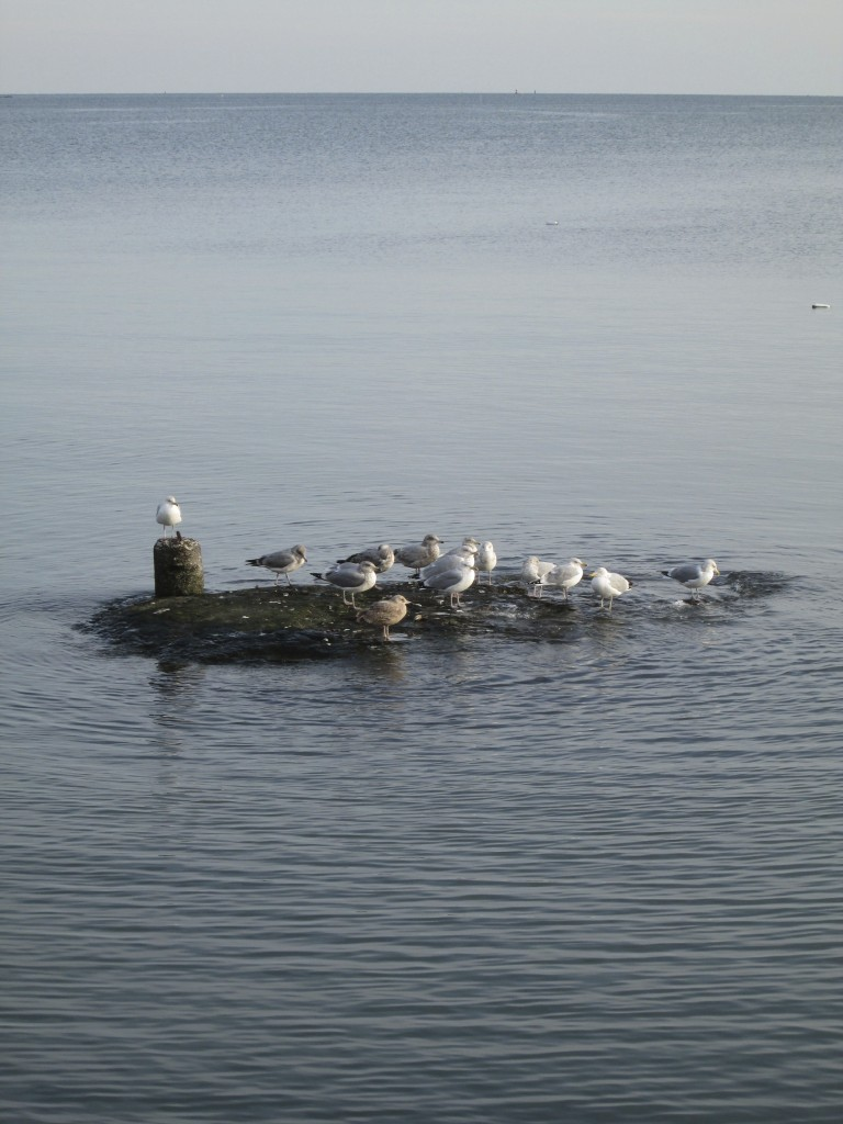 Seagulls at Long Island Sound, CT