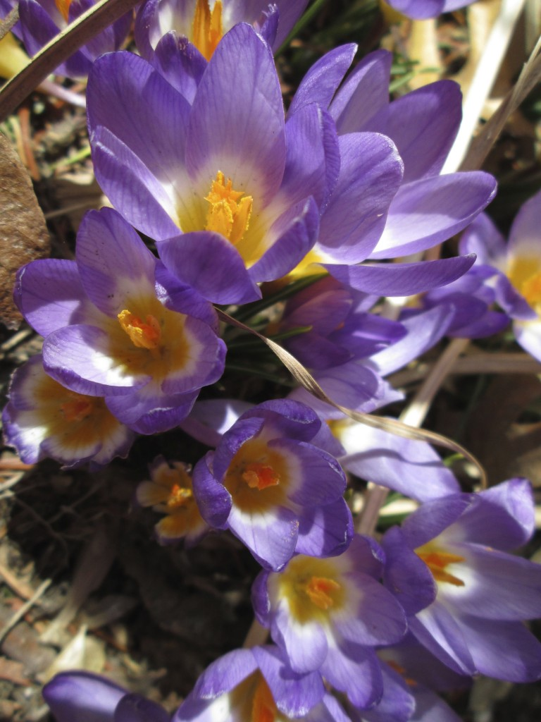 Crocus, Indian Neck, CT