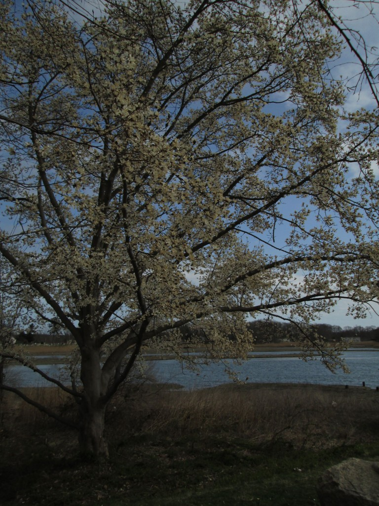 Magnolia Tree at Branford River, CT
