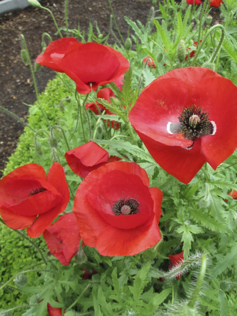 Red Poppies, Old Lyme, CT