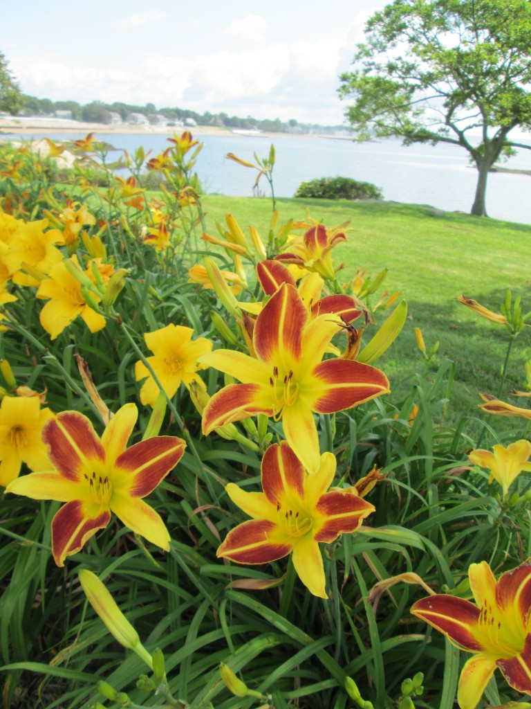 Day Lilies at Linden Shore, CT
