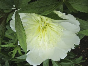 White Peony, Old Lyme, CT